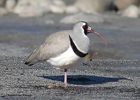 Birdwatching Trip Report from Arunachal Pradesh & Assam